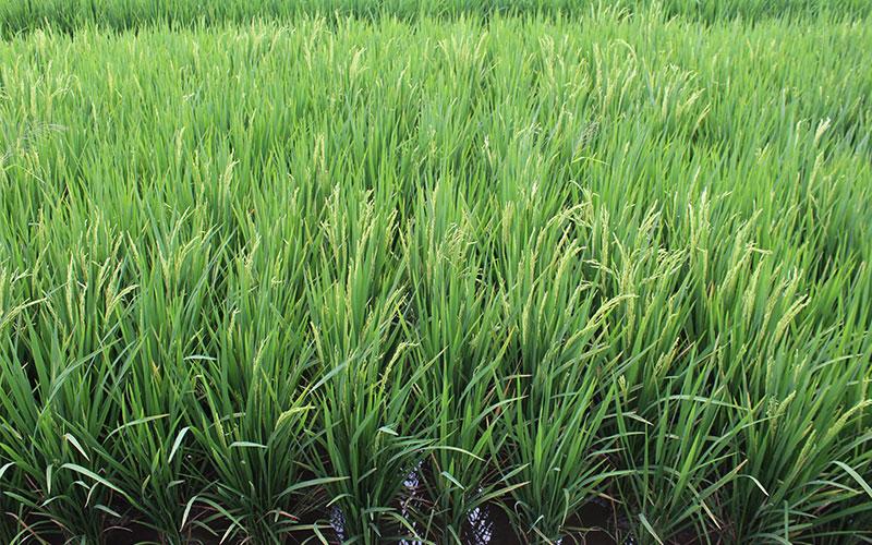 camp d'arròs indonèsia