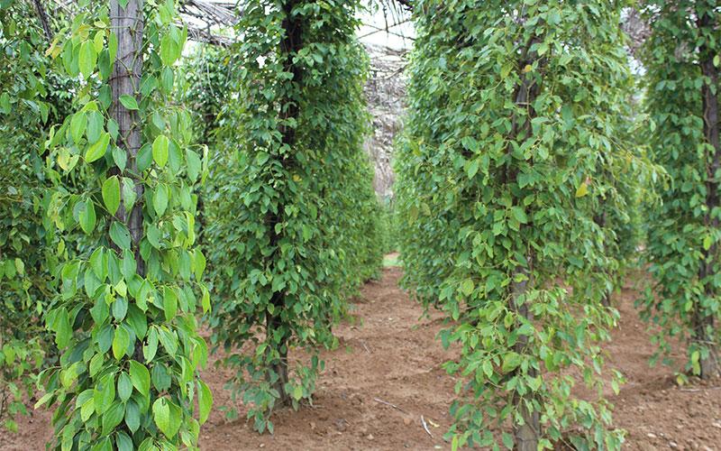 visitar plantacions de pebre gratis