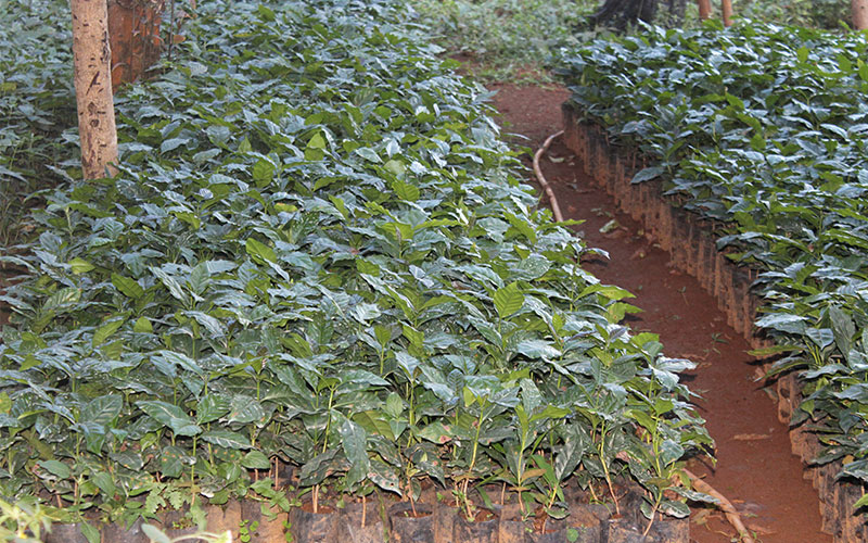 plantacio cafe laos