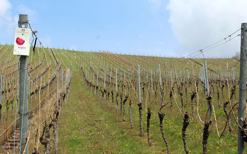 Strümpfelbach vinyes imperdible